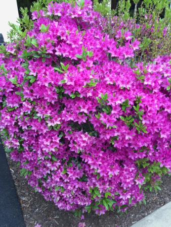 Holiday Inn Bangor-Odlin Road: Lush Azaleas in the courtyard