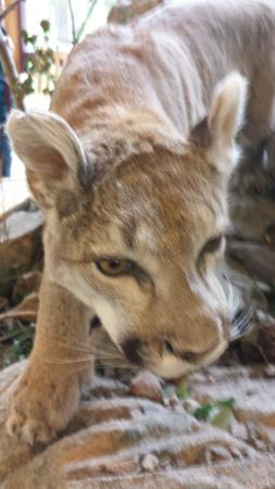 Lookout Mountain Nature Center: Mountain Lion
