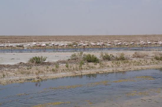 Gavkhooni Wetland: Flamingo-gazing in in delta of Zayanderud river before Gavkhuni Wetland, Varzaneh, Isfahan, Iran