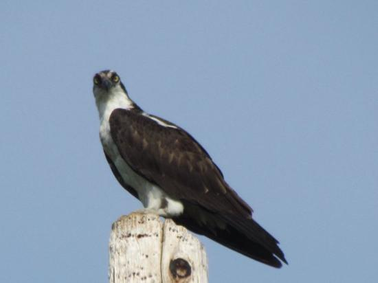 Upton, ME: Wildlife views, Osprey on route 16
