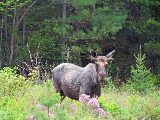 Upton, ME: One of our nine moose spotted this trip.
