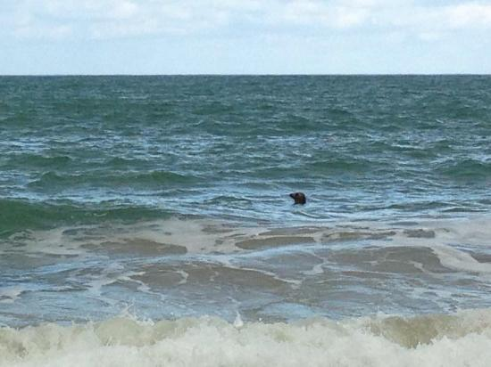 Carbis Bay Beach: Wild Seal