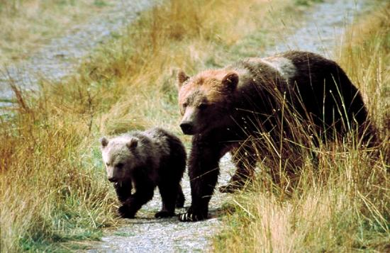 British Columbia, Canada: Grizzly Bears