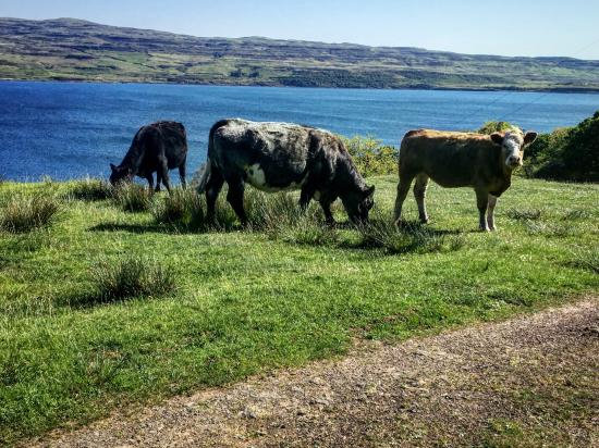Tiroran House Hotel: Found lots of cows along the Burg & Fossil Tree trail