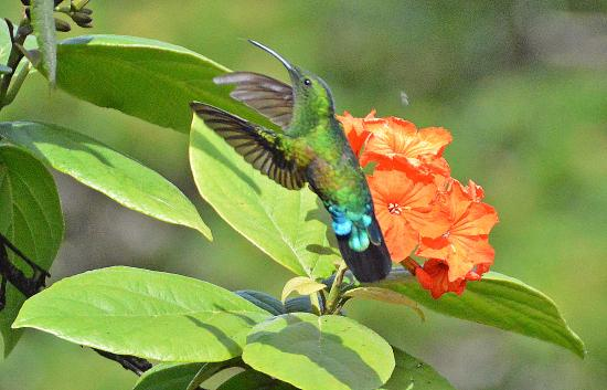 Hawksbill by Rex Resorts: One of many species of Humming Birds in the Hotel grounds.