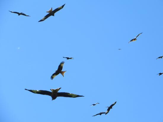 Laurieston, UK: Hungry Red Kites