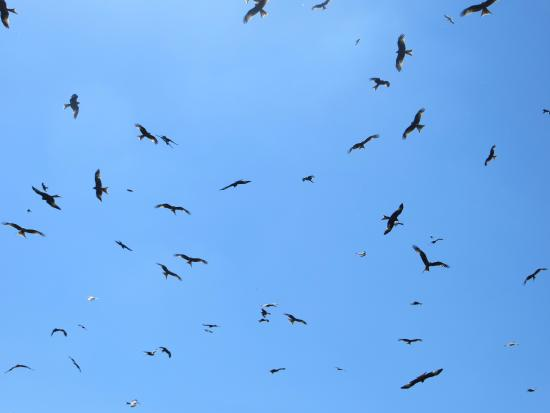 Laurieston, UK: Even hungrier Red Kites