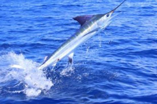 Redrum Sportfishing: A 'dancing' pic a friend of mine captured of the Striped Marlin I brought in!