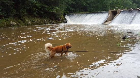 Eden Mill Nature Center: Our golden is cooling off in the dam area which is also beside the picnic area