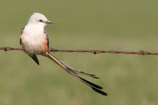 Strong City, Κάνσας: Scissor-tailed Flycatcher