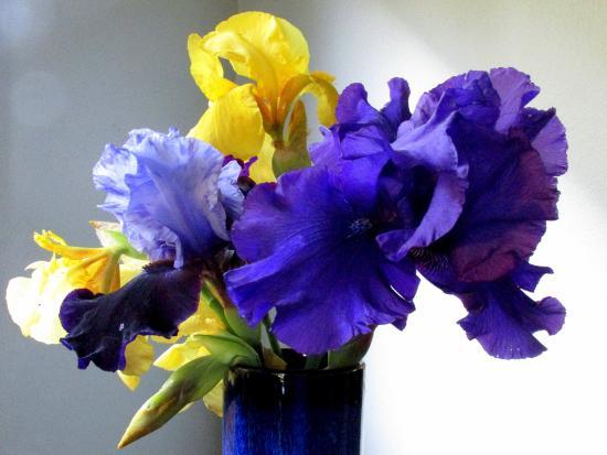 Schreiner's Iris Gardens: Two tone is Coming Storm