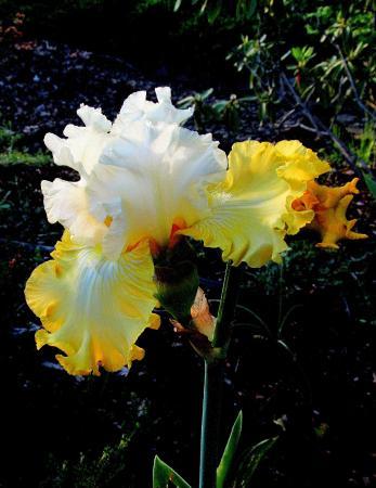 Schreiner's Iris Gardens: Ovejoyed