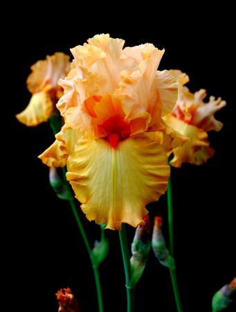 Schreiner's Iris Gardens: Autumn Riesling