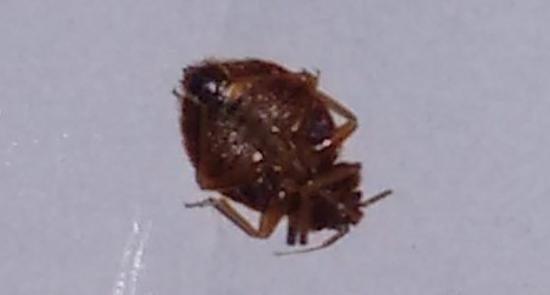 Super 8 Vancouver: female bed bug from room 604