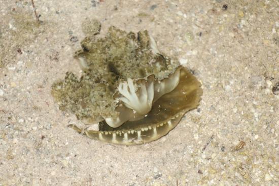 Conch Key, FL: upside down jellyfish