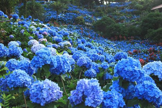 Okinawa Prefecture, اليابان: Yohena Hydrangea Garden