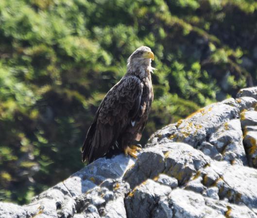 Corryvreckan Whirlpool: Sea eagle on Scarba