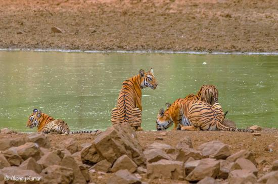 Masal, Indien: Tiger family