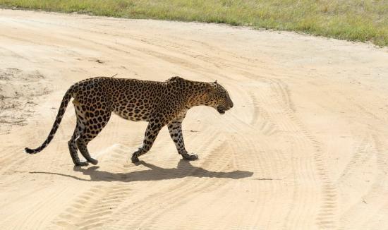 Southern Province, Sri Lanka: Leopard in Yala National Park,Sri Lanka  by Ceylon Voyagers