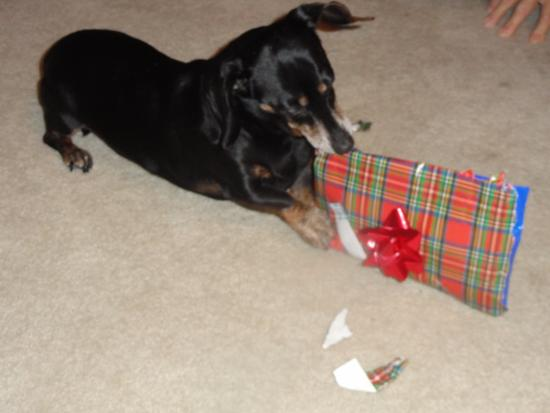 New Buffalo, MI: This is Precious. Christmas is her favorite Holiday. She loves to open gifts.,even yours if she