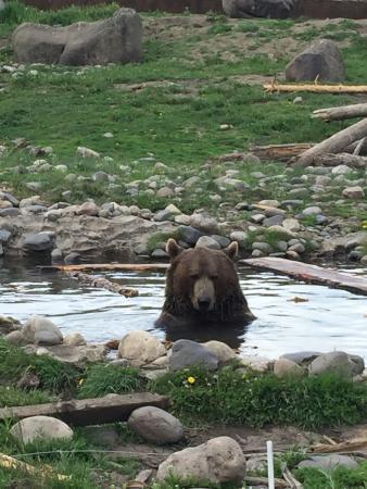 Montana Grizzly Encounter: photo0.jpg