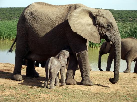 Addo Rest Camp: Mom & Baby at Hapoor Dam