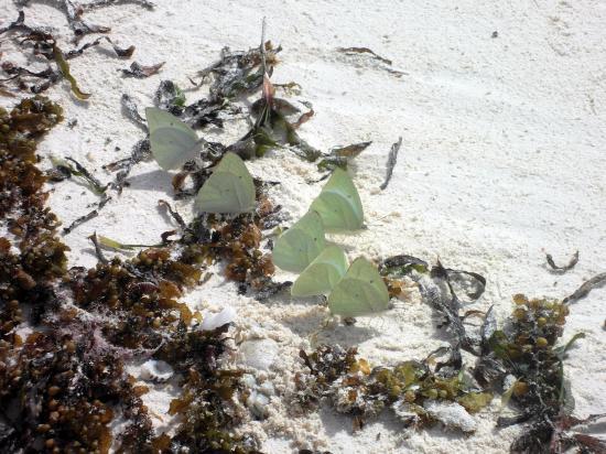 Makunduchi, Tanzania: butterflies on the beach infront La Madrugada