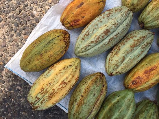 San Pedro Columbia, Belice: cacao pods