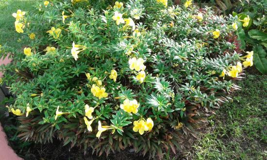 Ribishi, St. Vincent: Buttercups flower