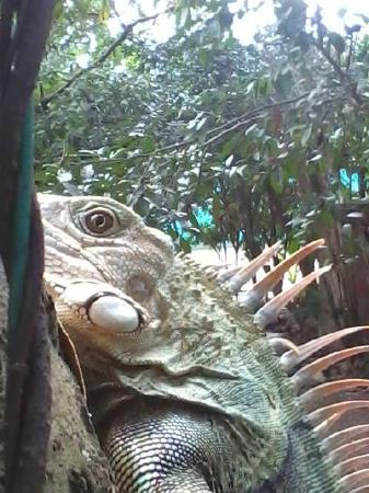 Girón, Colombia: Huge Iguana all dizzy, after falling from a tree at Gallienarl Park in Giron