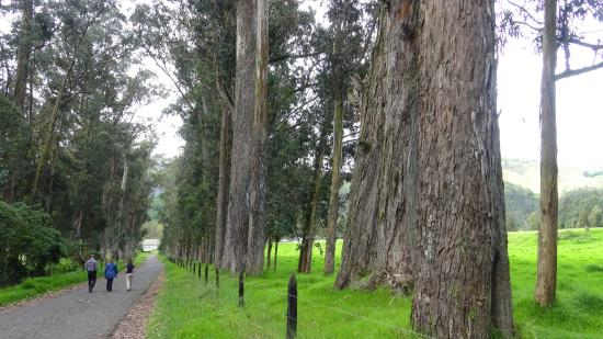 Hacienda Zuleta: The road to Zuleta lined with magnificent ancient trees