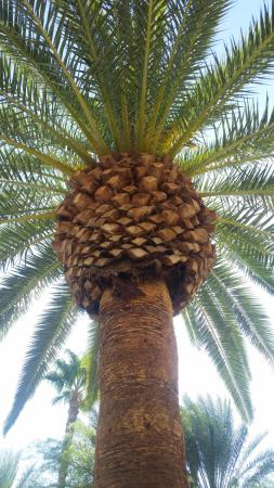 lovely mature palm trees this is my favorite kind picture of