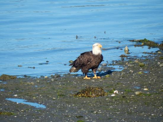 Majestic Ocean Bed and Breakfast: One of many eagles hanging around the beach.