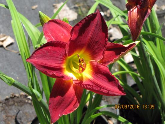 Plymouth, Califórnia: 700 varieties of Day lillies