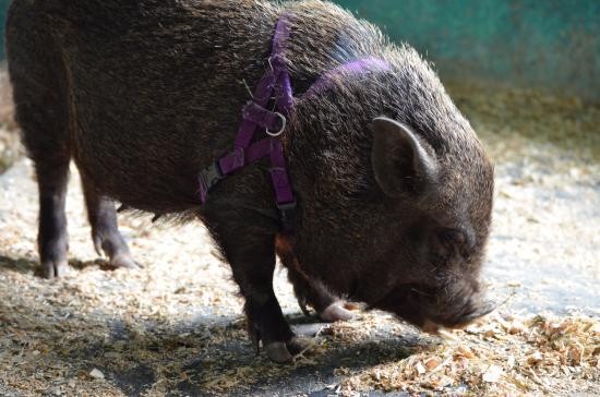 Roberts Creek, Canadá: Micro pig! Endless appetite and highly portable
