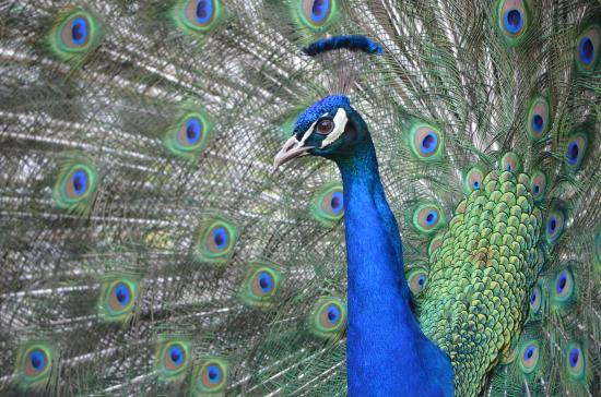 Roberts Creek, Canadá: there were two peacocks there and both were showing off