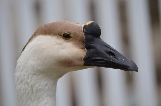 Roberts Creek, Kanada: skeptical goose does not trust my intentions