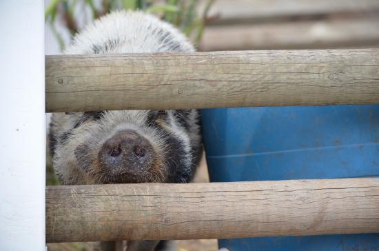 Roberts Creek, Kanada: friendly and noisy pig