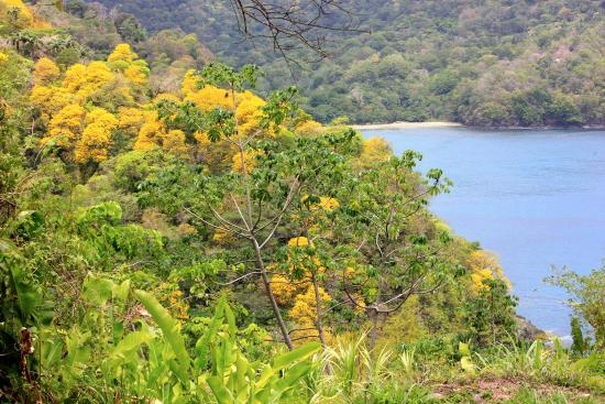 Charlotteville, Tobago: yellow Poui trees nearby
