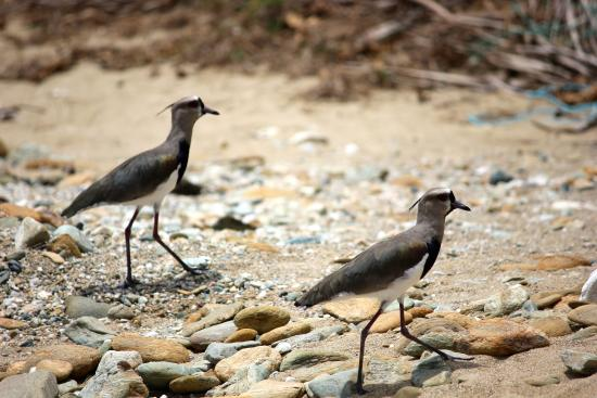 Charlotteville, Tobago: lapwings on the shore