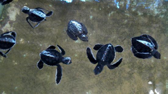 Bentota, Sri Lanka: Some of the babies