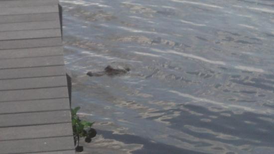Astor, FL: Alligator at the Dock @ Blackwater