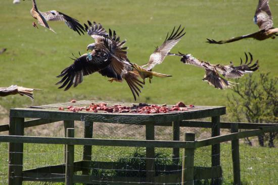 Laurieston, UK: Red Kites at the feeding station