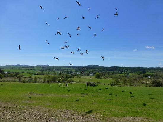 Laurieston, UK : Red kites