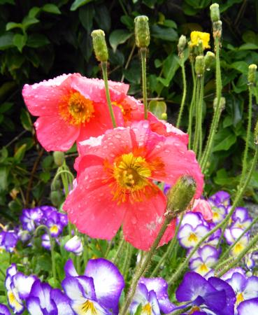 Poppies After The Rain Picture Of Botanical Gardens Of Villa