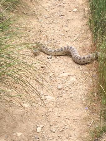 That S The Travel Range Of A Rattle Snake