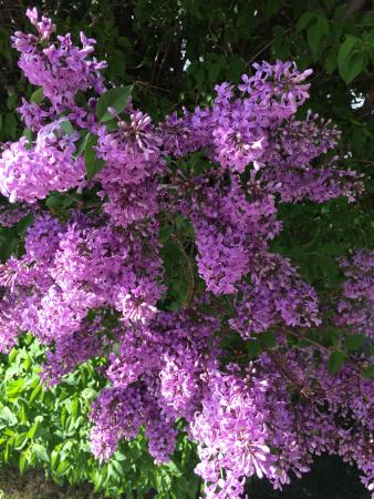 Beaver Creek Lodge Guided Snowmobile Tours: Lilac in bloom