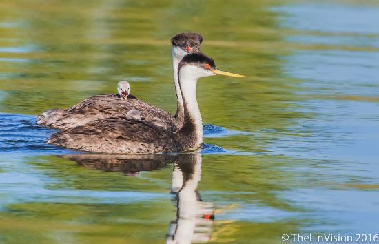 Lakeport, Калифорния: Babies on the back of grebe