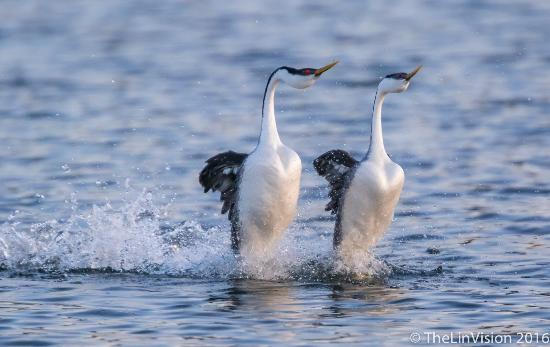 Lakeport, Калифорния: Grebe Courtship Dance