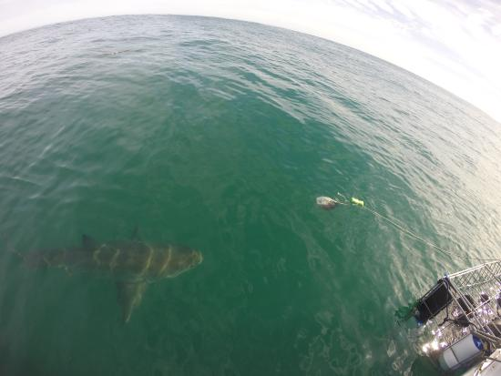 White Shark Diving Company: 8 footer